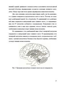 Анатомия головного мозга. Страница 15